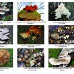 Funghi lignicoli dell'area tiburtina