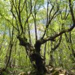 I boschi di carpino nero