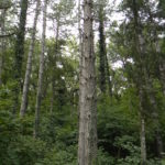 I rimboschimenti di conifere