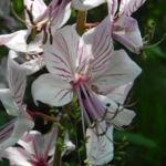 Fiori di dittamo - Dictamnus albus