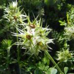 dettaglio di Trifolium stellatum